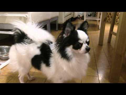 保護犬カフェの子がどれだけ遊んで欲しいかよくわかる動画