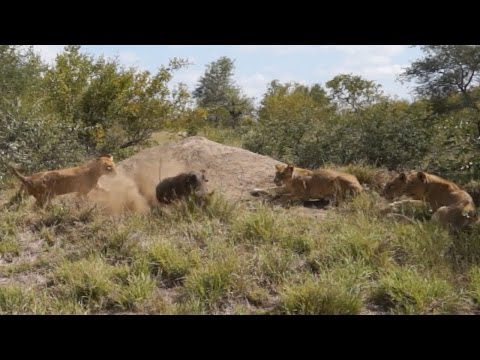Warthogs Outsmart Pride Of Lions