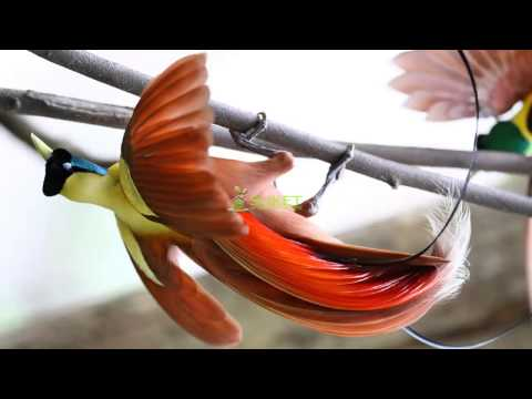 Suara Burung Surga Cenderawasih merah Paradisaea rubra MP3
