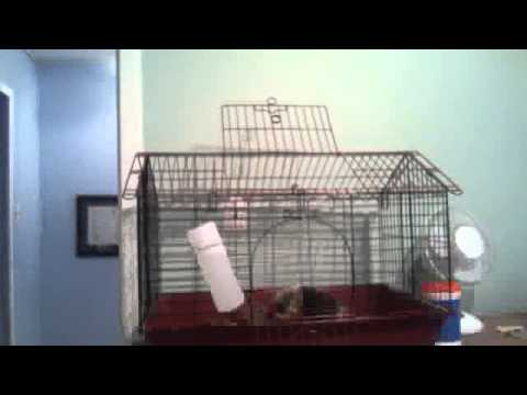 Cute Guinea Pig Cages Guinea Pig in Cage so Cute