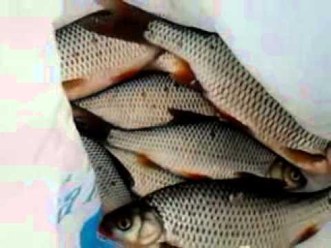 рыбалка на ячменке видео