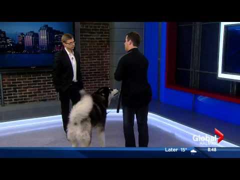 Tristan Flynn & Maverick on the Global Morning News Halifax Chatting Reactive Dogs