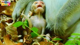 OMG!! Why mom newborn baby BUDDY do like this?Strong up baby|Heart breaking to see|Monkey Daily 604