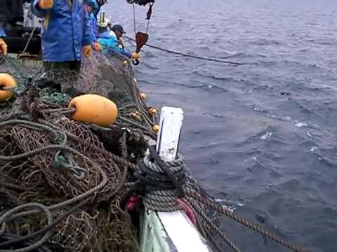 北海道定置網漁で鮭