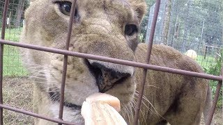 BIG Cats Getting Snacks In Slo Mo
