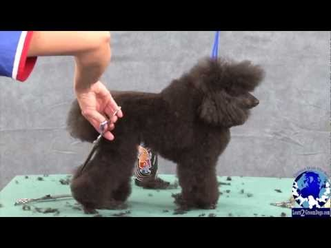 Grooming the Pet Toy Poodle in a Sporting Dog Trim Part 1