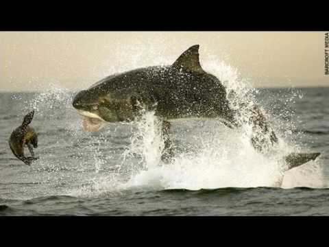 Shark Eating Seal Drawing Tiger Shark Eating Seal
