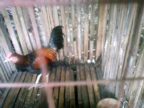 Sepasang Ayam Bekisar Gacor video