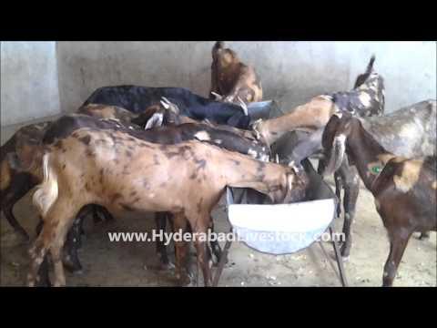 Goat Farming in Hyderabad Livestock and Farms, Hyderabad, Andhra Pradesh, India