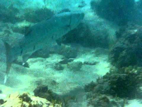 Snorkel video in Magen's Bay Beach -Big Fish- St. Thomas USVI Caribbean - YouTube