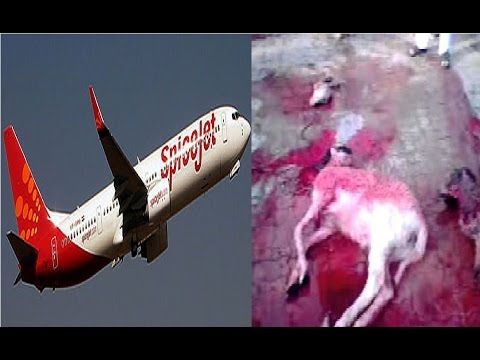 SpiceJet flight hits animal before take-off at Surat airport, flights suspended