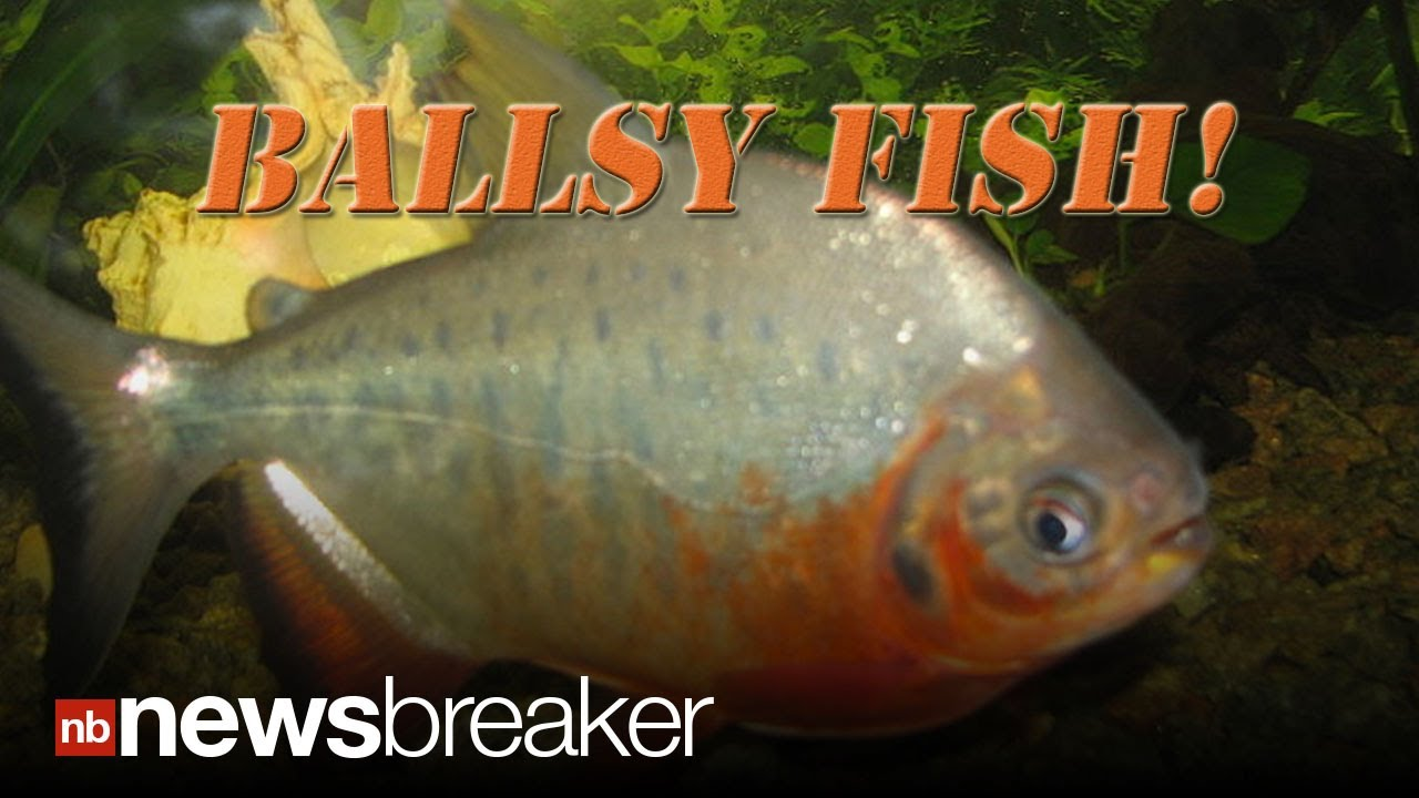 Men warned about testicle eating fish in lakes youtube for H m fish count