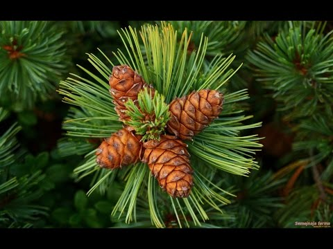 Как вырастить кедр из орешка в домашних условиях ЧАСТЬ 2 (How to grow pine nuts from home PART 2)