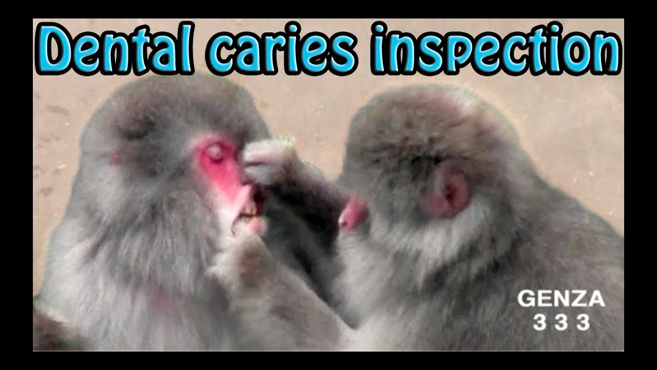 dental caries inspection of monkey funny animal   youtube