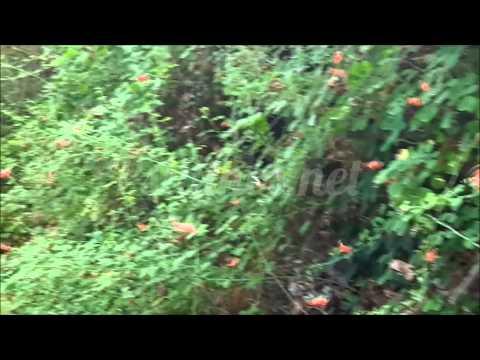 Πεταλούδες Panaxia Quadripunctaria στη κοιλάδα της Ψίνθου