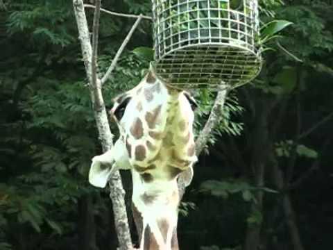 キリンのツリカゴで食事中(4) @東山動物園