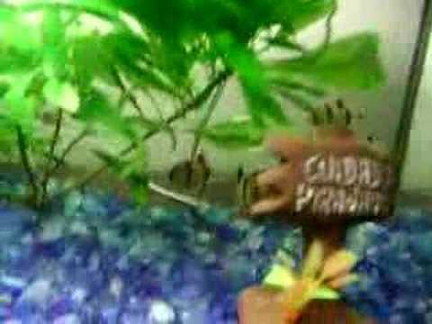 Barbos Sumatra Brigando...