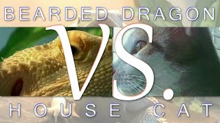 5 Comparisons Between Bearded Dragons And House Cat As Pets
