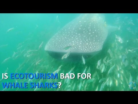 Is ecotourism bad for whale sharks? [Shark Science 101]