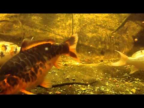 Backyard pond with waterfall and fish how to save money for How much does a koi fish cost