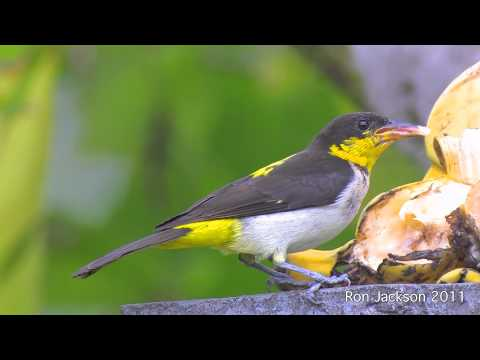 Header of Yellow-Backed Tanager