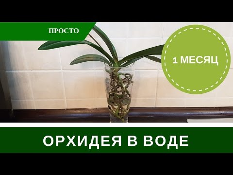 Орхидея в Воде Без Грунта