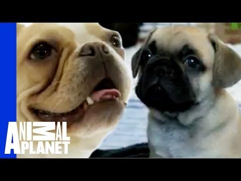Γαλλικό Μπουλντόγκ - French Bulldog
