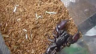 Stung by a Forest Scorpion
