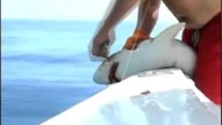 Shark vs Fisherman