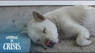 Heavily Pregnant Dog With Cancer Was Abandoned But Still Waits For An Owner | Animal in Crisis EP122
