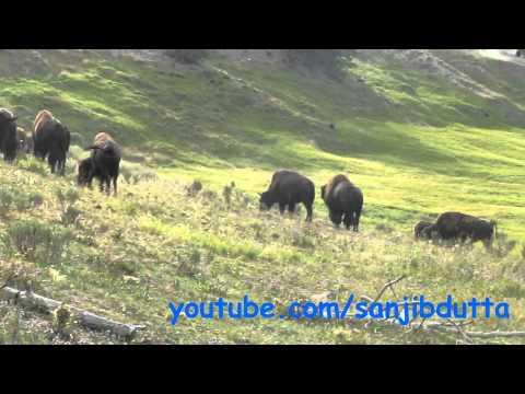 Hayden Valley bison in Yellowstone National Park
