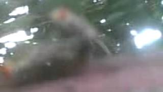 video mesum terekam dari handphone