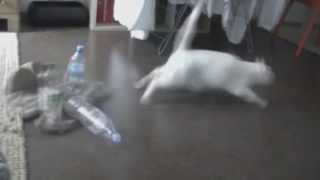 paranoid cat - kitten scares itself with bottle