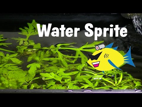 Water Sprite Aquarium Plant Profile