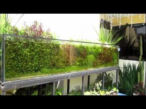 acuario plantado al sol, 900 litros.
