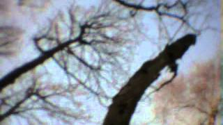 Brown long-eared bat in a dead twig...