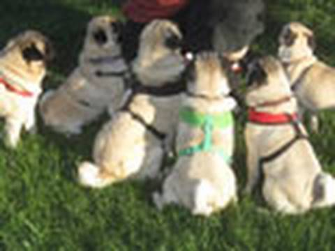 Seven Pugs at the Park