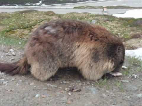 スイスの小動物 マーモット(Marmot)