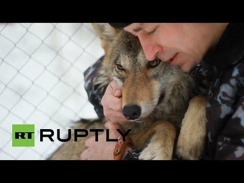 Conozca a Hanti, la loba salvaje rusa que se cree una mascota