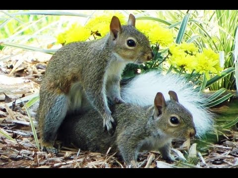 White Tail Drunk Squirrel Play Mating FYV 1080 HD