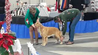December 9, 2018 Regina Dog Show 1 Golden Breed