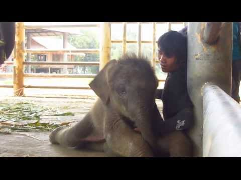 Baby Dok Mai and her Mahout at Elephant Nature Park
