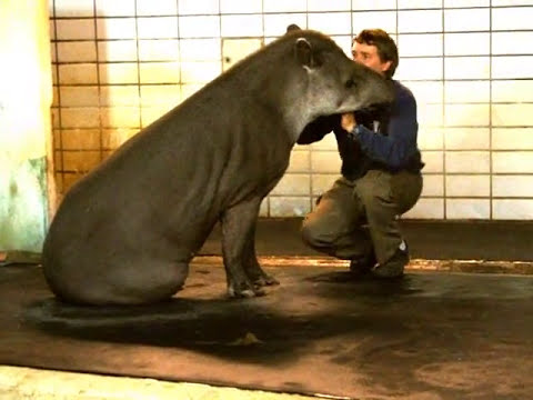 Mausi bürstet mit Hingabe einen Tapir.wmv