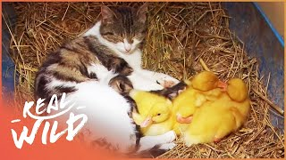 Cat Adopts Baby Ducklings | Animal Odd Couples | Wild Things Short