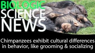 Science News - Chimpanzees exhibit cultural differences in behavior, like grooming & socializing