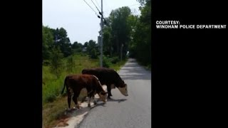 "These cows are ""resisting arrest"""