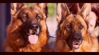 TOP 10: I migliori cani da guardia