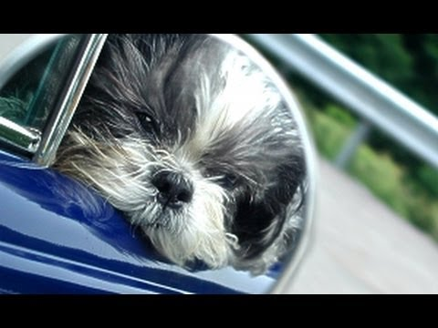 In memory of Buddy, a tribute to my beloved Shih Tzu