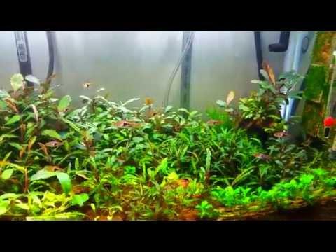 Bucephalandra Farm tank
