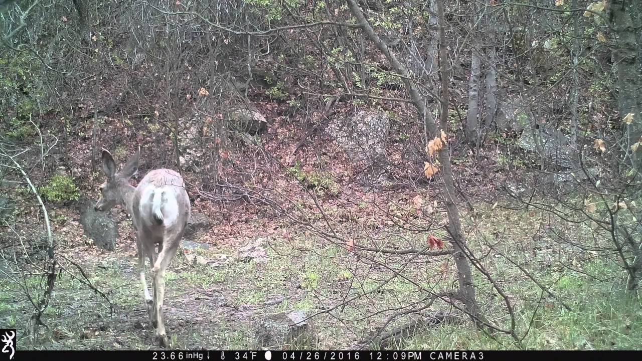 Same deer visit Browning Trail Camera on two different days
